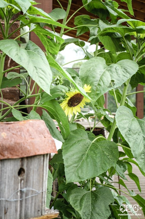 Sunflower   Creative Cain Cabin