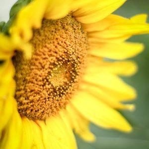 Sunflower | Creative Cain Cabin