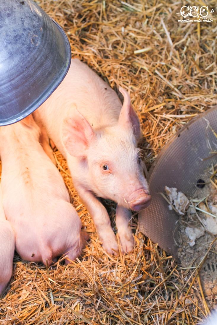 Piglets | Creative Cain Cabin