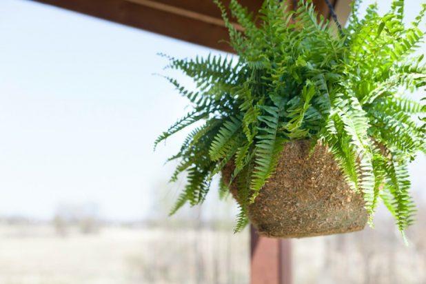 Hanging Fern | CreativeCainCabin.com