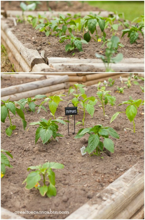 Garden Pepper Plants | Raised Garden Bed | CreativeCainCabin.com