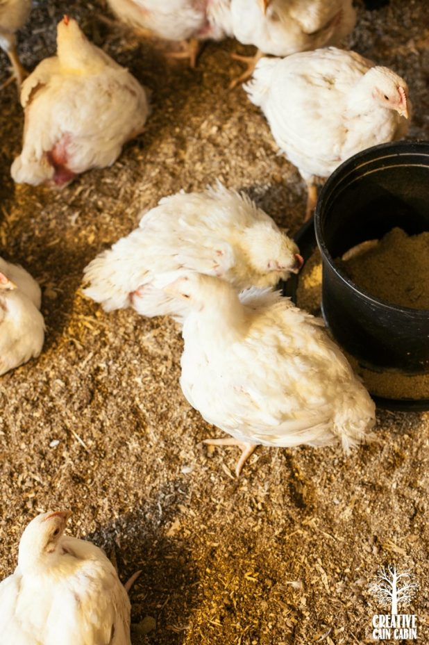 Meat Chickens   CreativeCainCabin.com