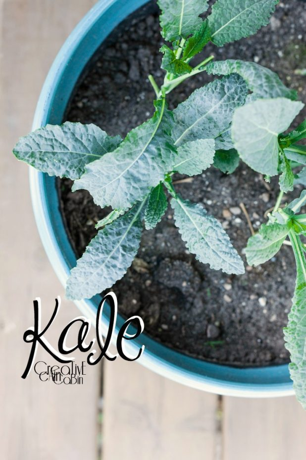Kale | Organic Vegetables | Garden | Vegetable Garden | Harvest | CreativeCainCabin.com