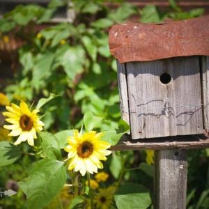 Sunflower Blooms and a Rustic Birdhouse | CreativeCainCabin.com