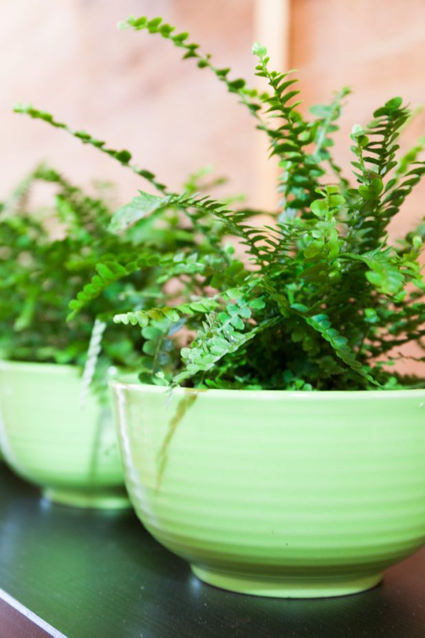 Ferns Potted in Kitchen Bowls