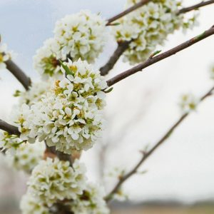 Fruit Tree Blossoms