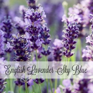 English Lavender Sky Blue