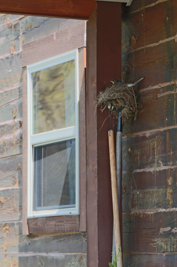 Robin Sitting On Its Nest