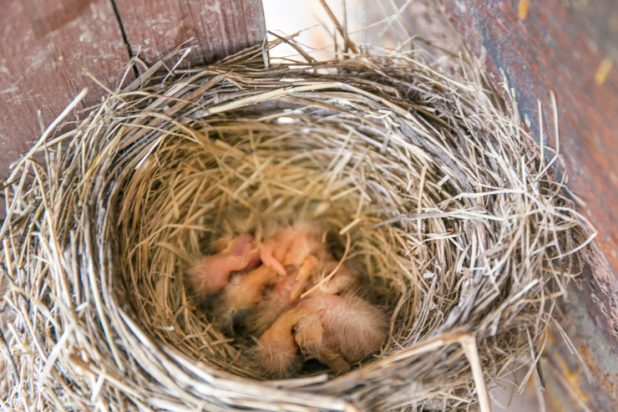 4 Baby Robins