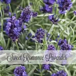 Sweet Romance Lavender