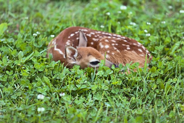 Spotted Fawn