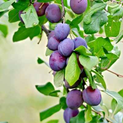 Fruit Orchard Layout Using PicMonkey