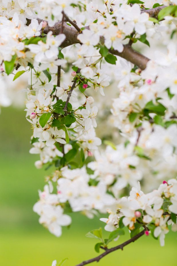 Blooming Crab Apple Tree