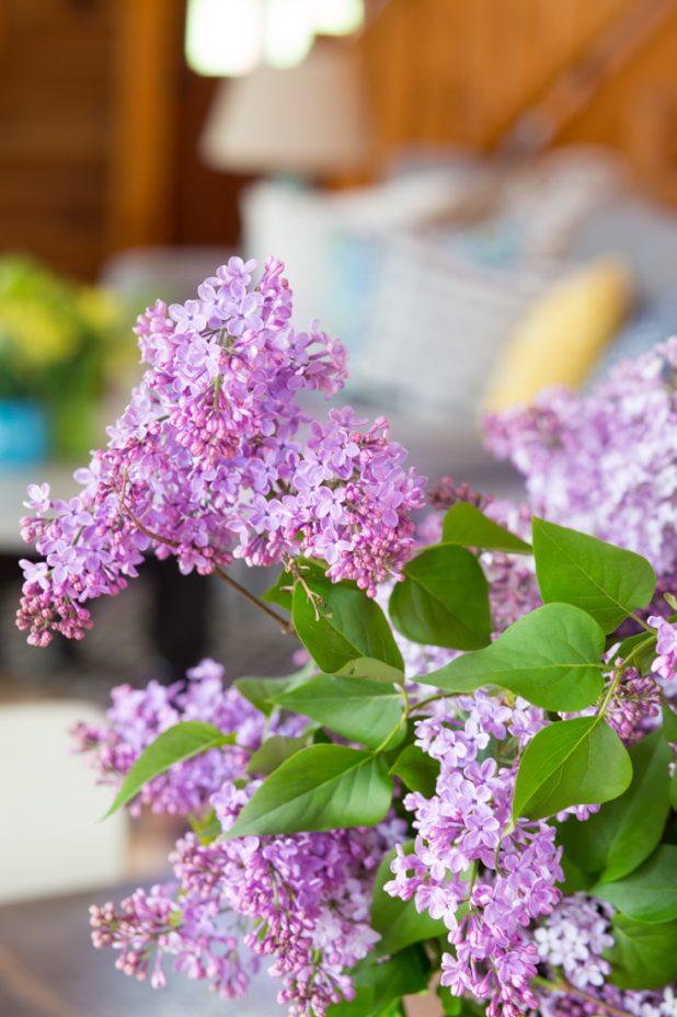 Purple Lilac Blooms