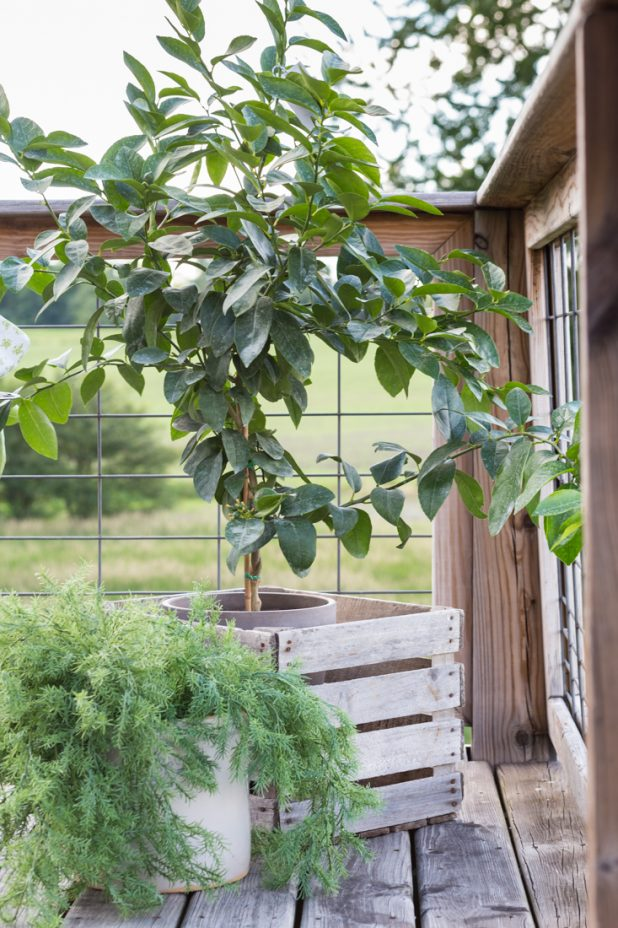Potted Lime Tree, Cold Climate Hearty, Great For Porches, Can Be Grown Inside, Fruit Producing