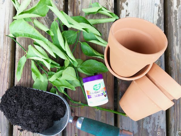 It's easy to propagate a lime or lemon tree from cuttings. You'll need clay pots, rooting hormone, potting soil, and tree clippings. Click to see how it's done.