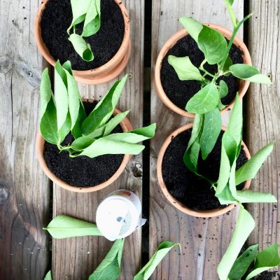 How to Propagate a Lime Tree From Cuttings