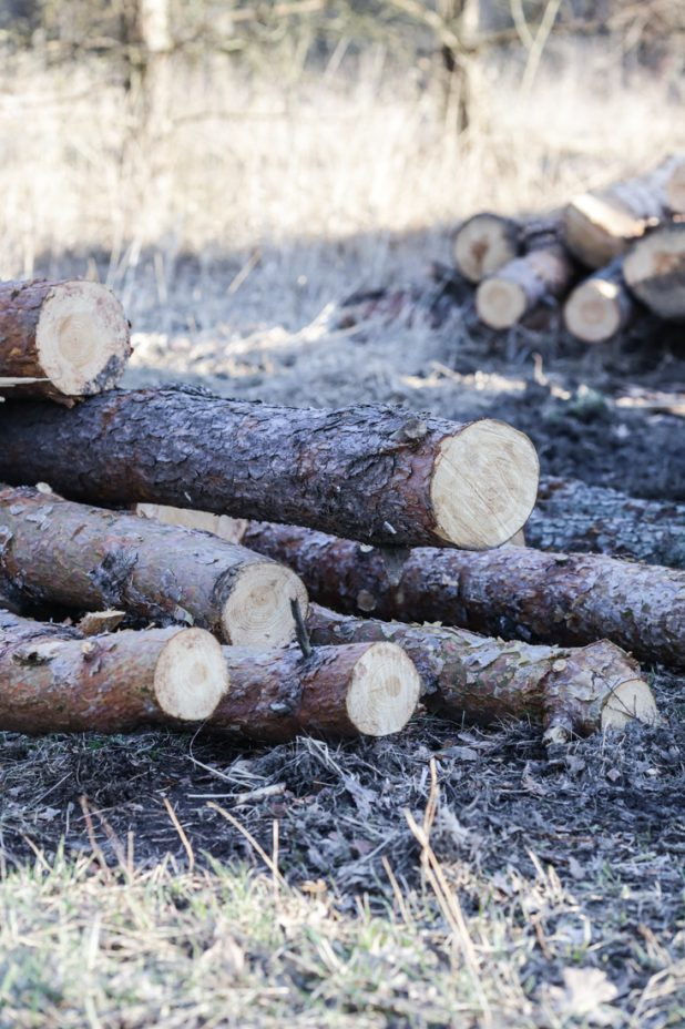 Logging Red Pine Trees For Log Home Repairs