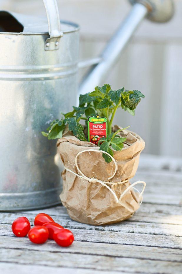 Patio Tomato Plant