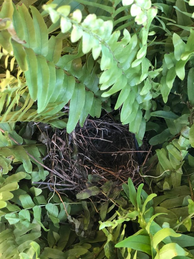 Birds nest in a Boston Fern