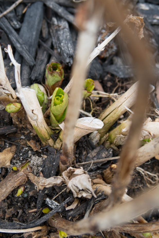 Hydrangeas Sprouting From the Earth, First Signs of Spring