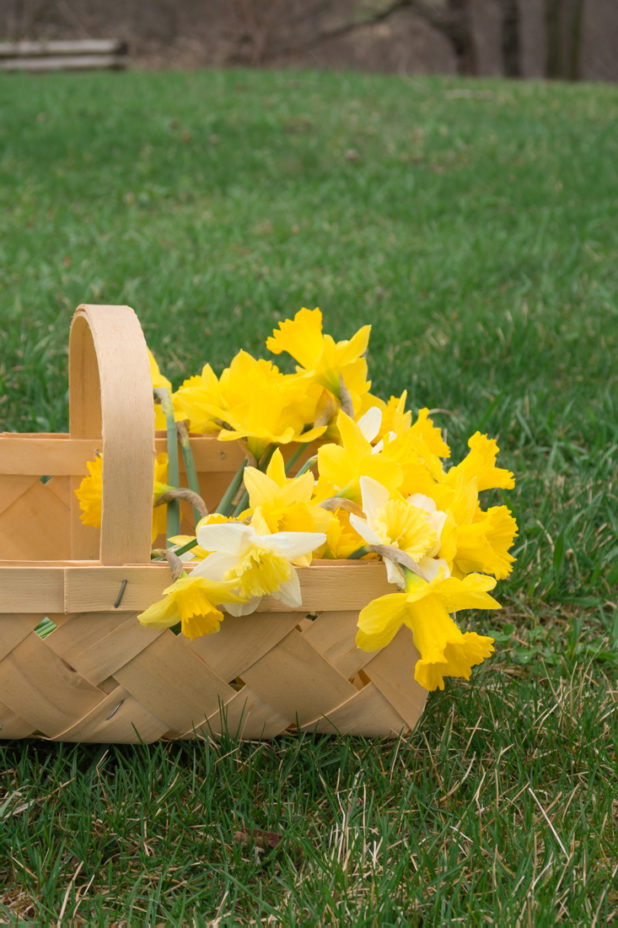 Daffodil Blooms in a Berry Basket
