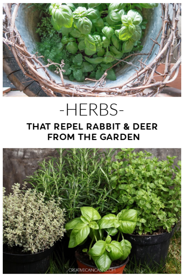 Herb Plants to Repel Deer and Rabbits from the Garden