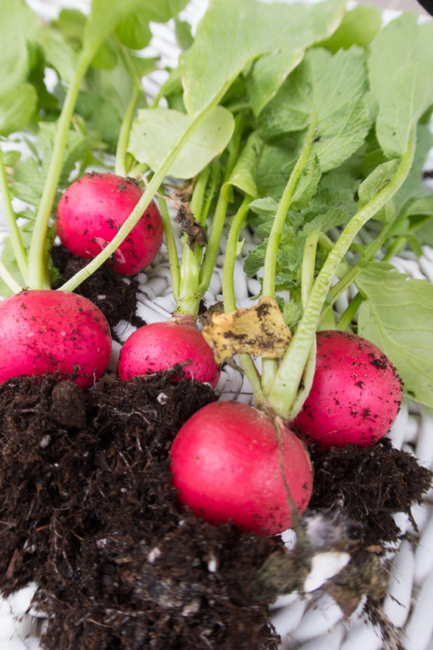 Radish, Vegetable Garden, Container Garden, Raised Bed Garden