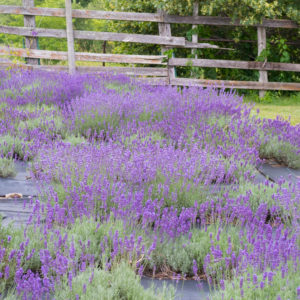 Lavender Farm Mini Vacation