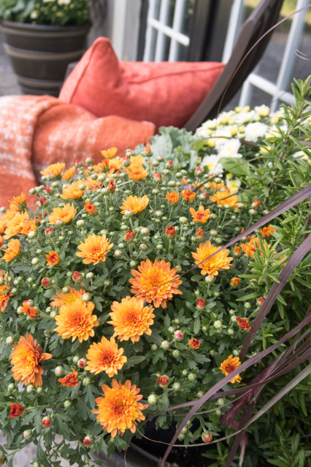 Fall Mums in Burnt Orange, Fall Container Garden, Traditional Fall Decorating Colors