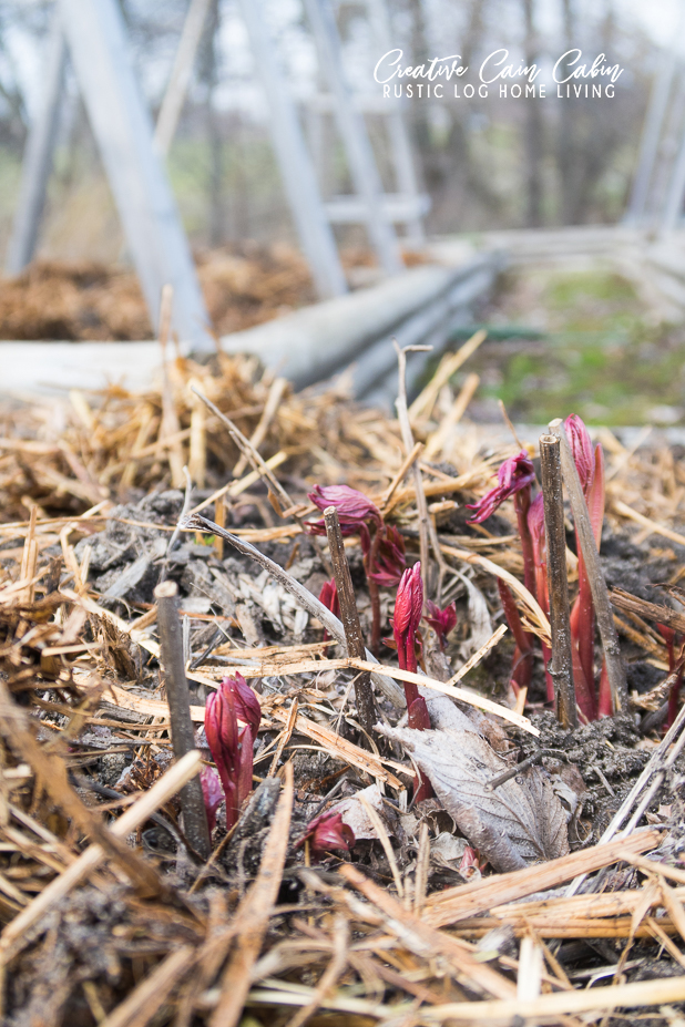 Peonies Sprouting, Prepping Spring Garden Beds