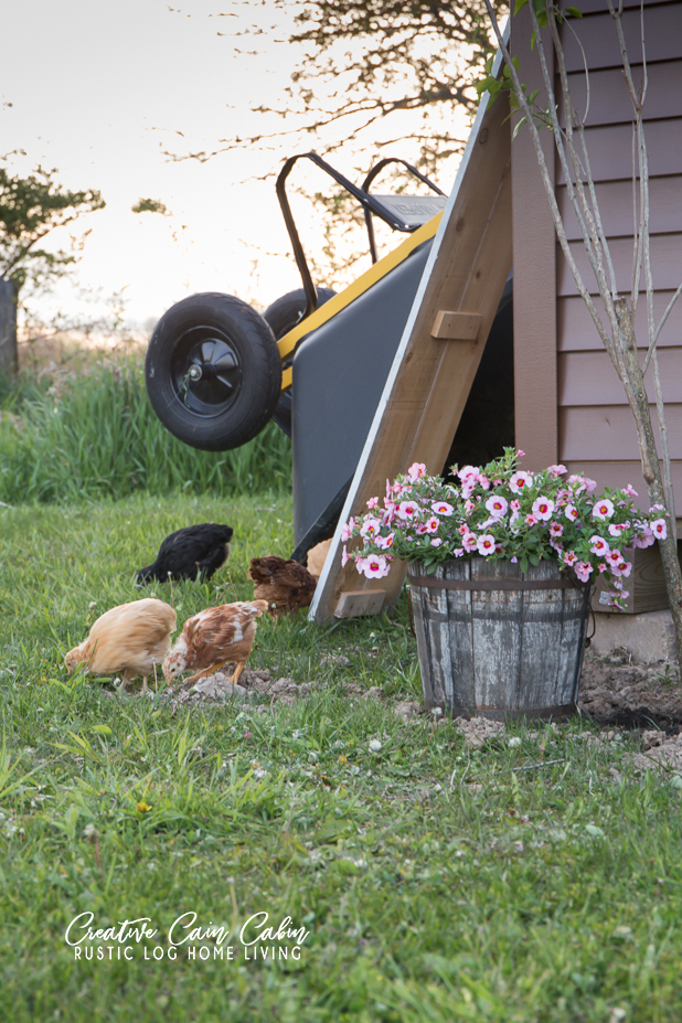 Country Living, Chickens, Wooden Bucket Filled With Wave Petunias