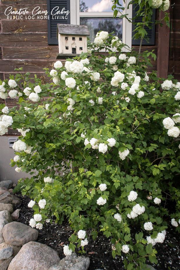 Blooming Snowball Bush