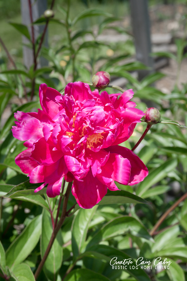 How To Support Peonies
