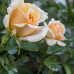 Beautiful Day Apricot Tea Rose