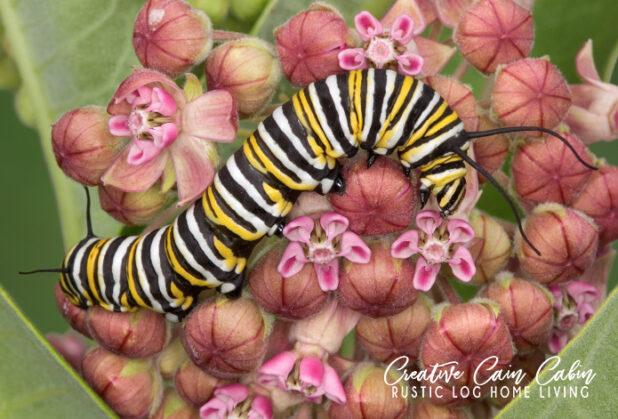 Milkweed and Monarch Butterflies