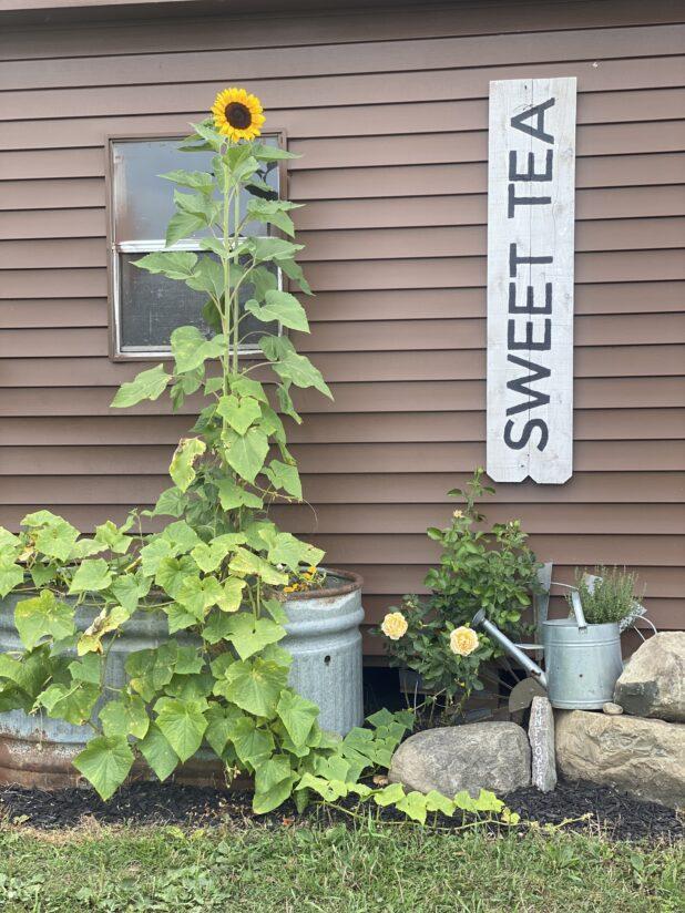 Chicken Coop, Galvanized Planter, Sunflowers, Rustic