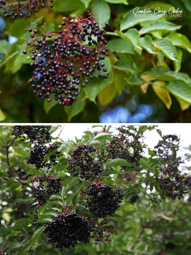 Elderberry, Gathering, Planting From Cuttings, Dehydrating, Freezing, Ways To Use Them