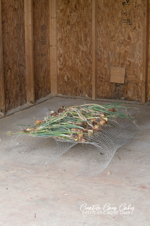 How to Harvest and Store Onions