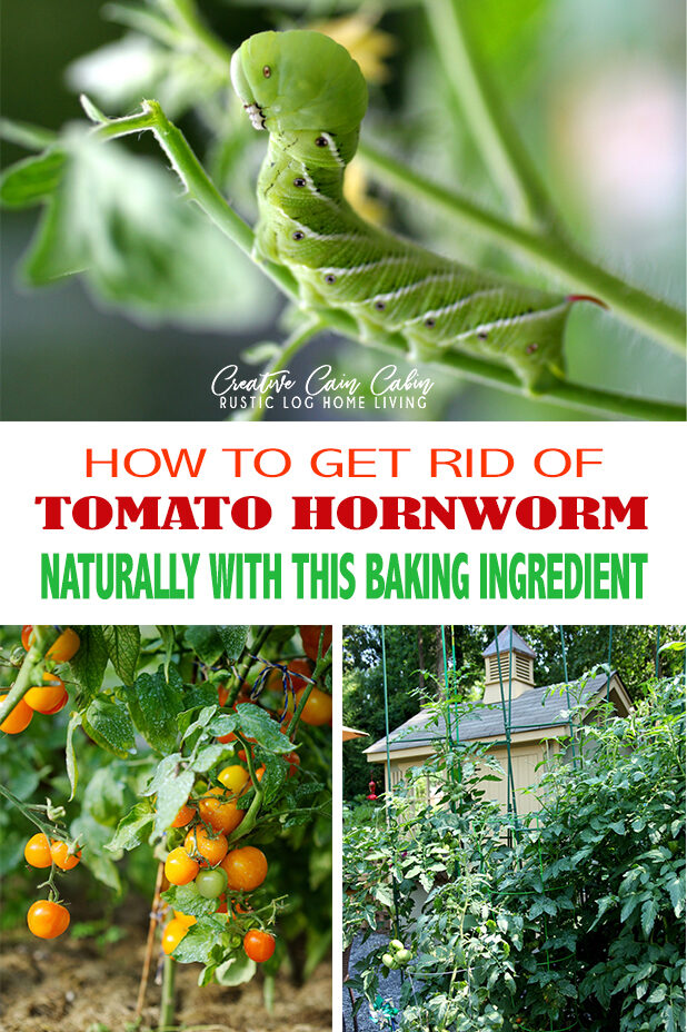How to get rid of tomato horn worms naturally