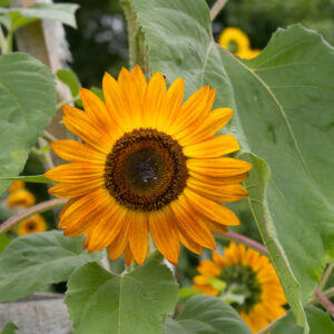 Blooming Sunflowers In The Fall Garden