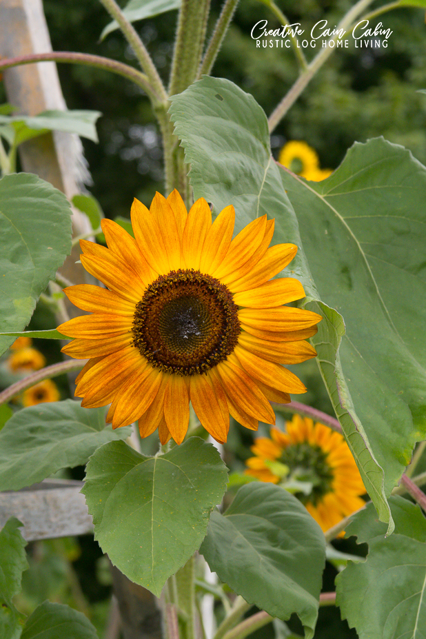 Sunflower, Garden, Fall