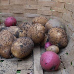 My Embarrassing Potato Harvest