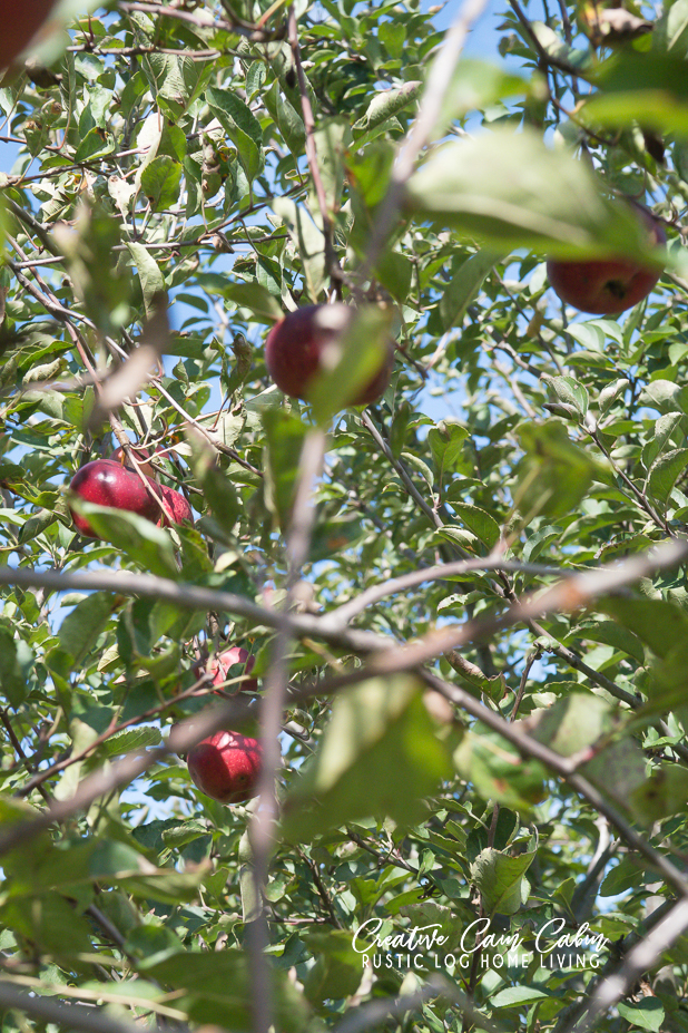 Organic, Homegrown orchard apples