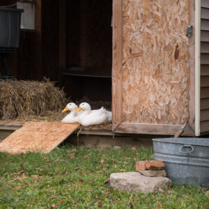 Meet The Pekin Ducks Marigold and Daisy