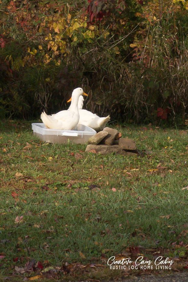 Perkin Ducks, Coop, Rustic Wash Tub