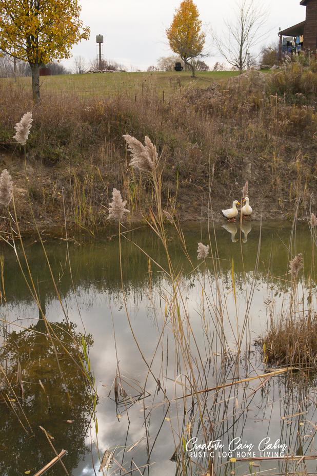 Pekin Ducks, Marigold and Daisy