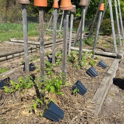 Tomatoes: From Seed, Grow Lights,  Up-Potting, and Planting