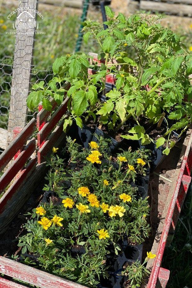 Starting Tomato Seeds, Grow Light Alternative, Up-Potting, Garden Planting