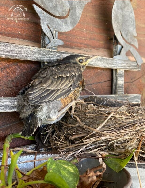 Baby Robin Leaving the Nest